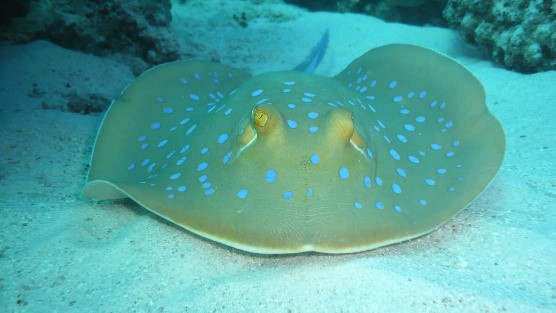Blue Sting Ray